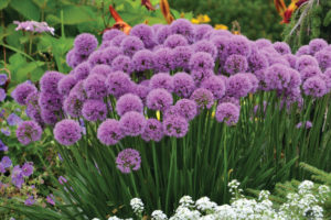 An image of Allium 'Millennium' ornamental onion.