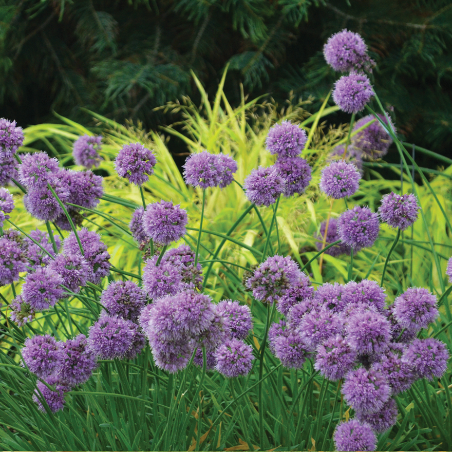 A photo of the Allium 'Medusa' ornamental onion.