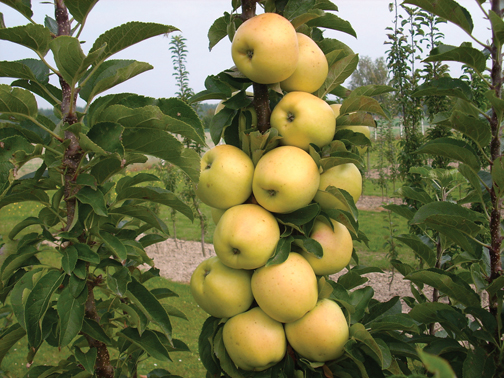A photo of Malus 'Golden Treat'