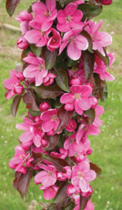 A photo of the columnar crapapple Malus 'Rosalie'.
