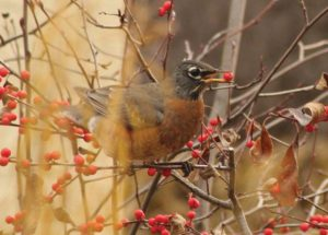 A robin eating winterberry fruit.