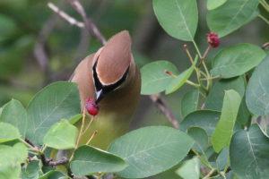 An image of a cedar waxwing bird eating serviceberry fruit.