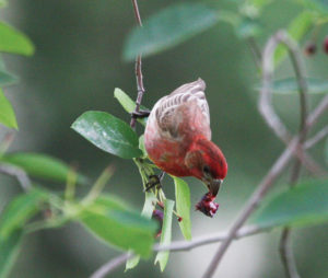 A picture of a housefinch eating serviceberry.