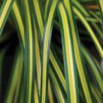 An image of Carex Evercolor Eversheen