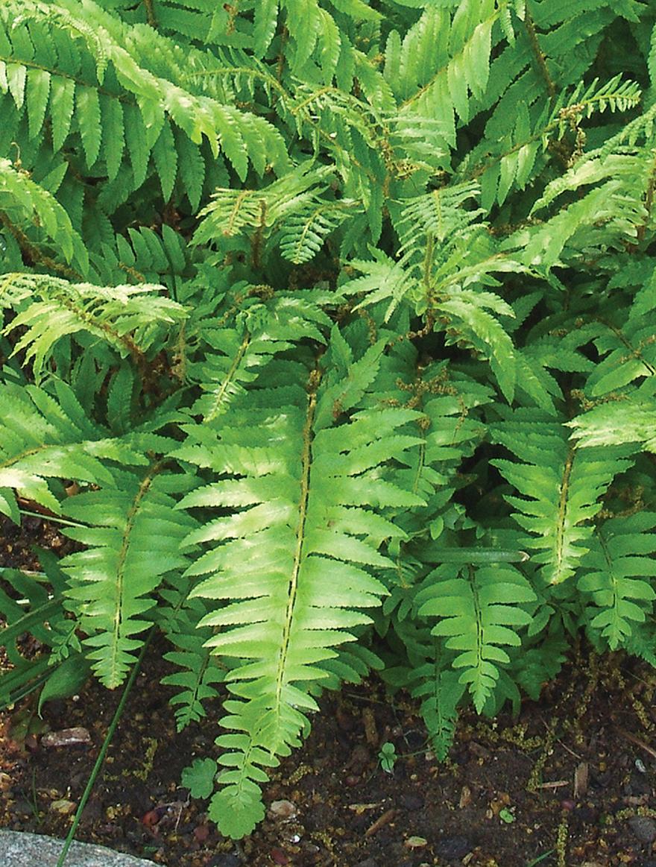 A photo of Christmas fern