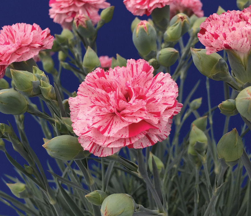 A photo of Dianthus 'Pinball Wizard'