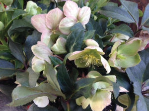 An image of hellebore