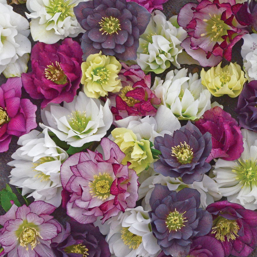 An image of Helleborus 'Wedding Party Mix'