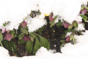 A picture of hellebores in the snow.