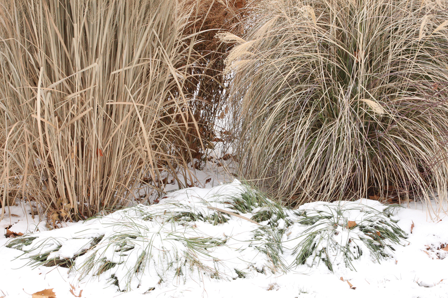 an image of sedges and ornamental grasses in snow.