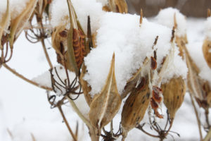 An image of seedheads in snow