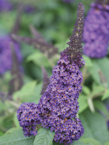 An image of Buddleia 'Pugster Blue'