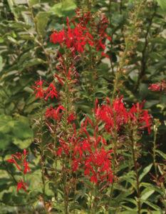 an image of Cardinal flower