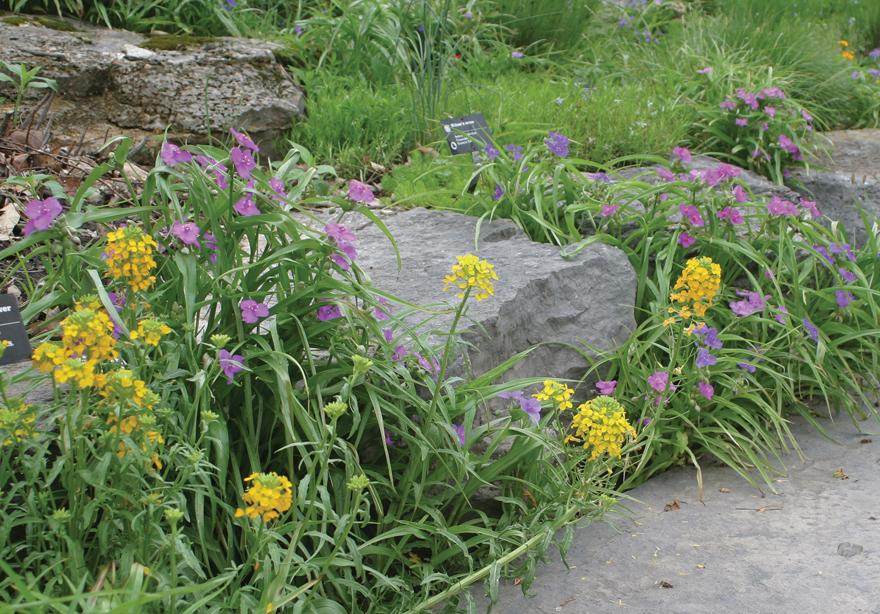 An image of Western Wallflower