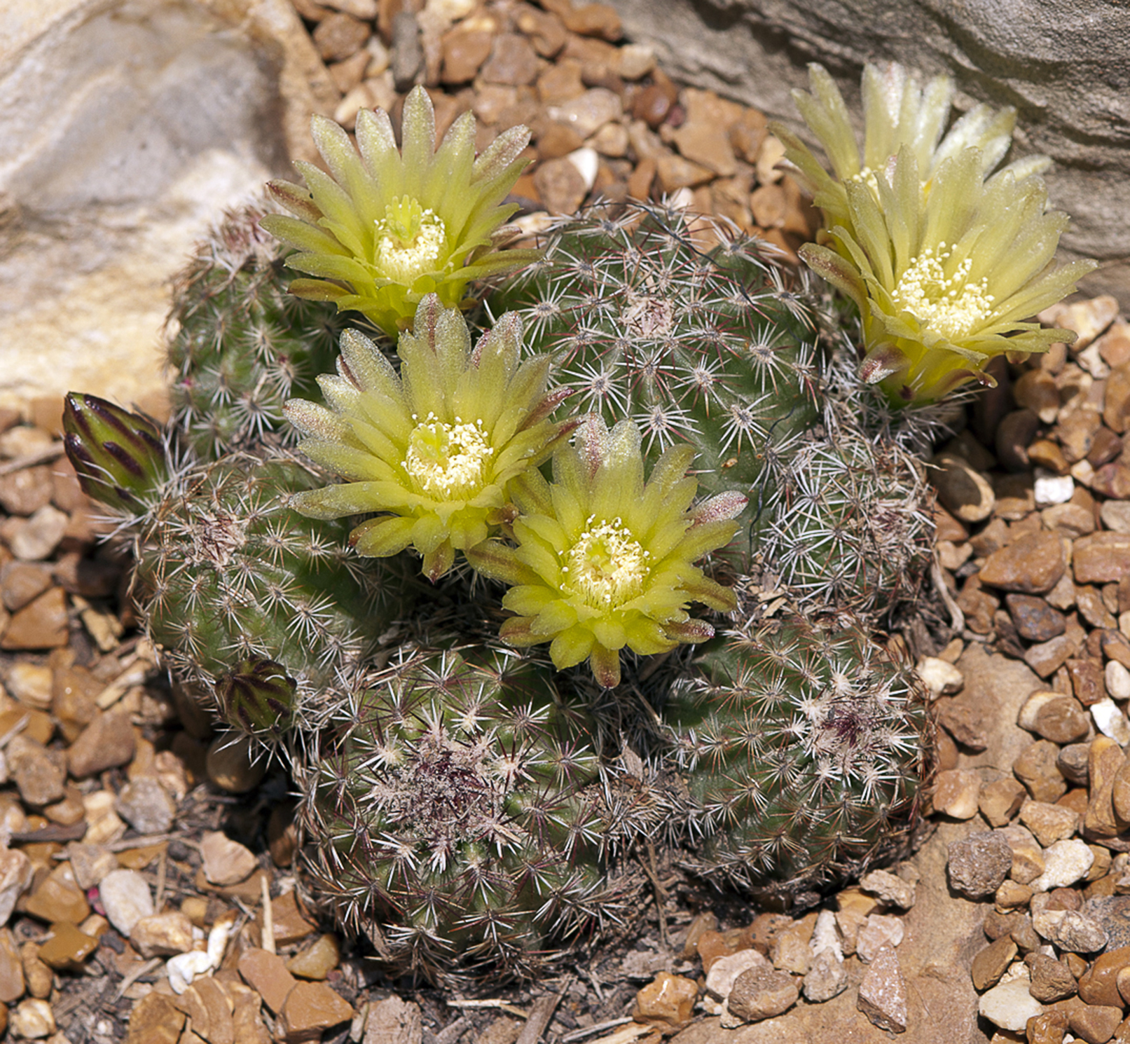 A picture of Echinocereus viridiflorus