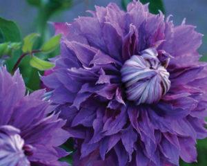 A photo of Clematis 'Diamantina'