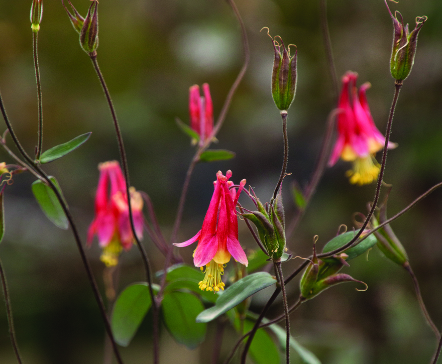 A photo of Columbine 'Little Lanterns'