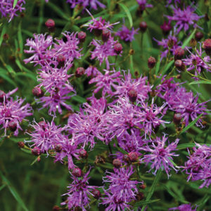 An image of Vernonia 'Southern Cross'