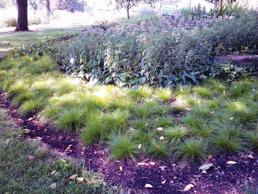 An image of Carex eburnea