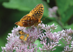 An image of a great spangled frittilary butterfly on Joe pye weed.