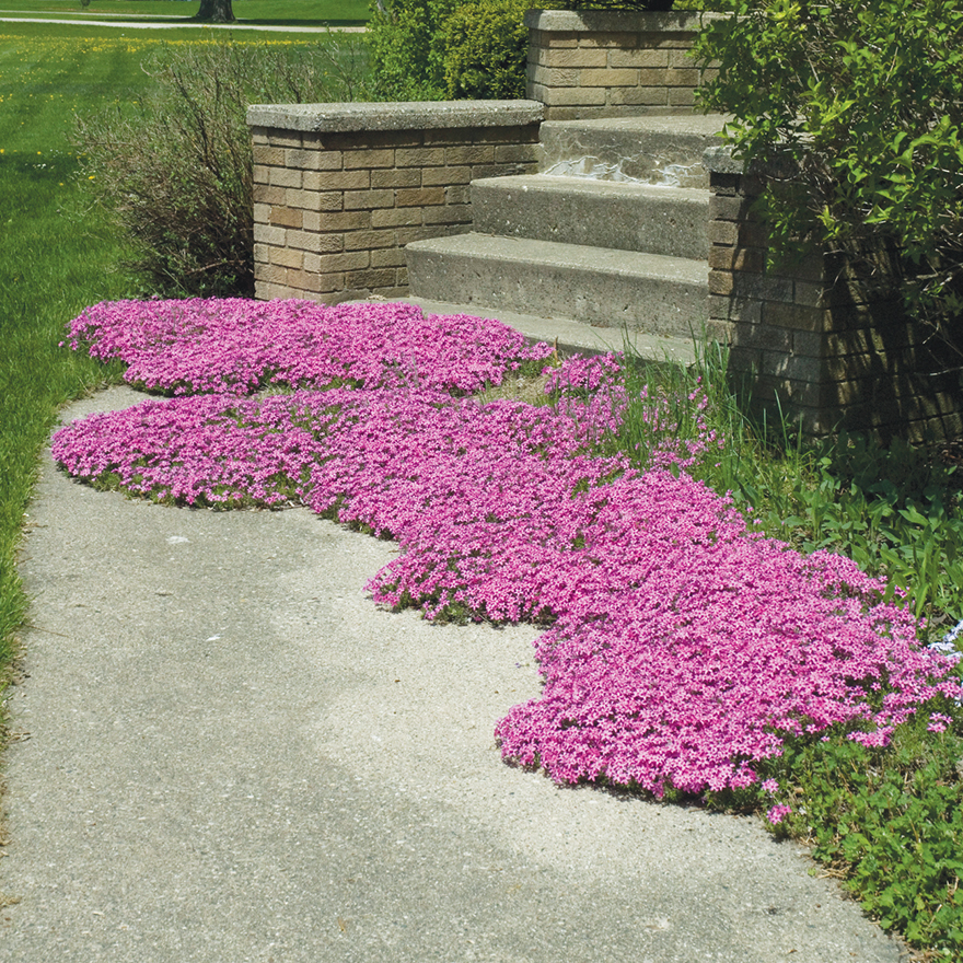 An image of Phlox subulata Red Wing