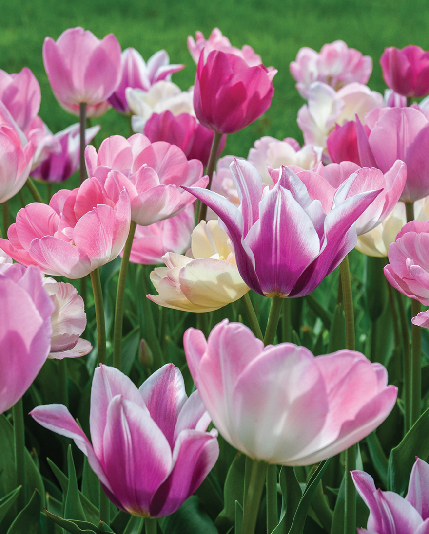 A picture of pink tulips