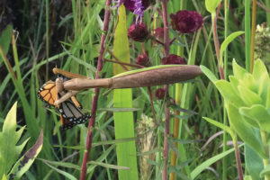 a picture of a mantid and monarch butterfly