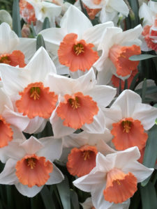 a picture of 'Chromacolor' Daffodil