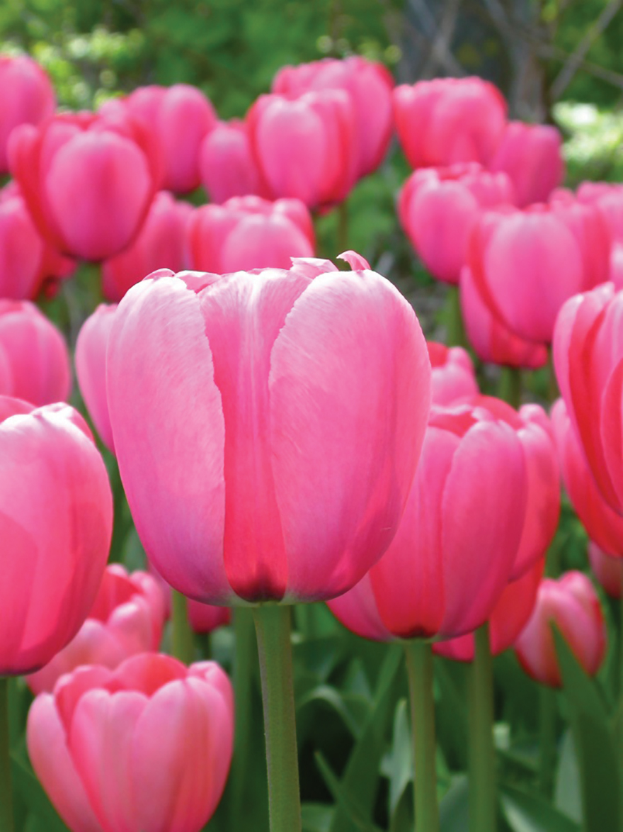 A picture of 'Pink Impressions' tulips