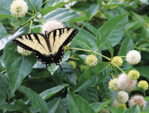 A picture of buttonbush