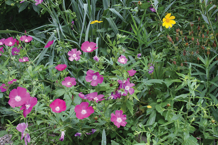 A picture of purple poppy mallow