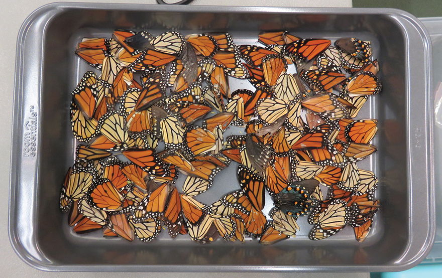photo of tray of butterfly wings
