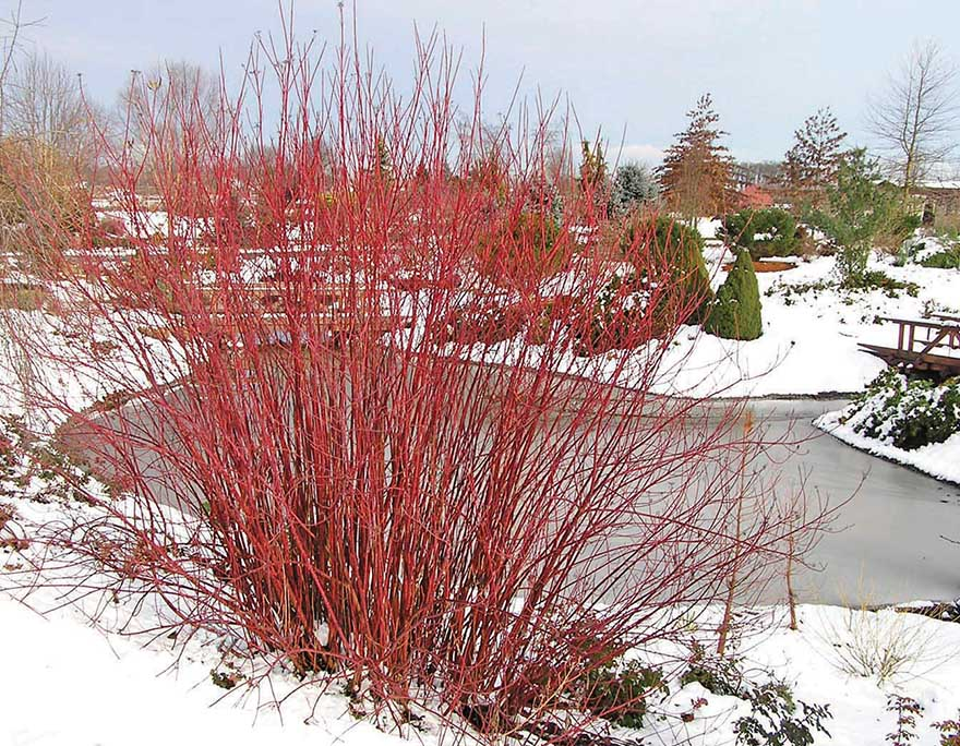 A picture of red twig dogwood