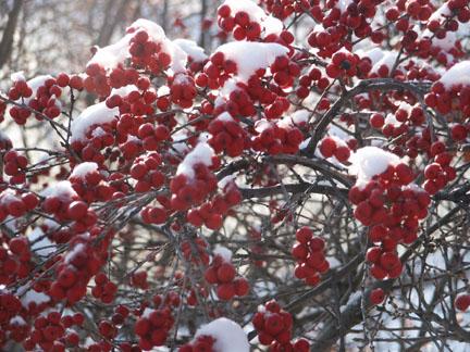 A picture of winterberry shrub in snow